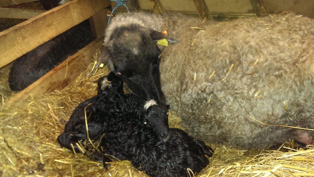 Sista lammen för i år