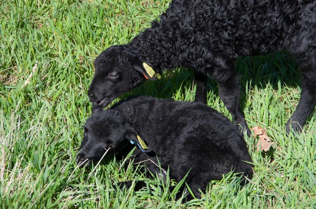 Sol, gräs och lamm - det är fint det!