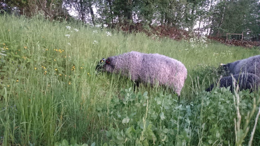 M-a-s-s-o-r av gräs som ändå inte var förvuxet, hurra hurra!